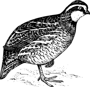Křepelka
